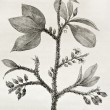 Stock Photo: Erythroxylon coca