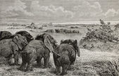 Elephants grazing — Stock Photo