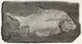Fossil fish — Stock Photo
