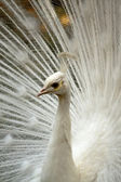 White peacock bis — Stock Photo