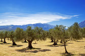 Olive grove sexies — Stock Photo