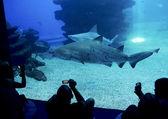 Family looking at big sharks in aquarium — Stock Photo