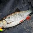 Chub caught on plastic lure — Stock Photo