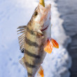 Striped perch — Stok Fotoğraf #13173706