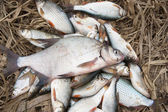 Pile of fish with big bream on top — Stock Photo