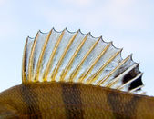 Dorsal fin of a perch - looks like punk — Stock Photo