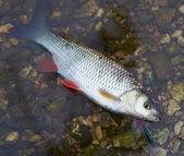 Chub caught on a hardbait in water — Stok fotoğraf
