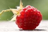 Just harvested raspberry glowing on sunlight — Stock Photo