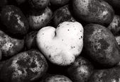 Heart-shaped clean potato contrasting with dark and dirty ones — Stock Photo