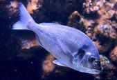 Dorade (gilt-head bream) in aquarium — Stock Photo
