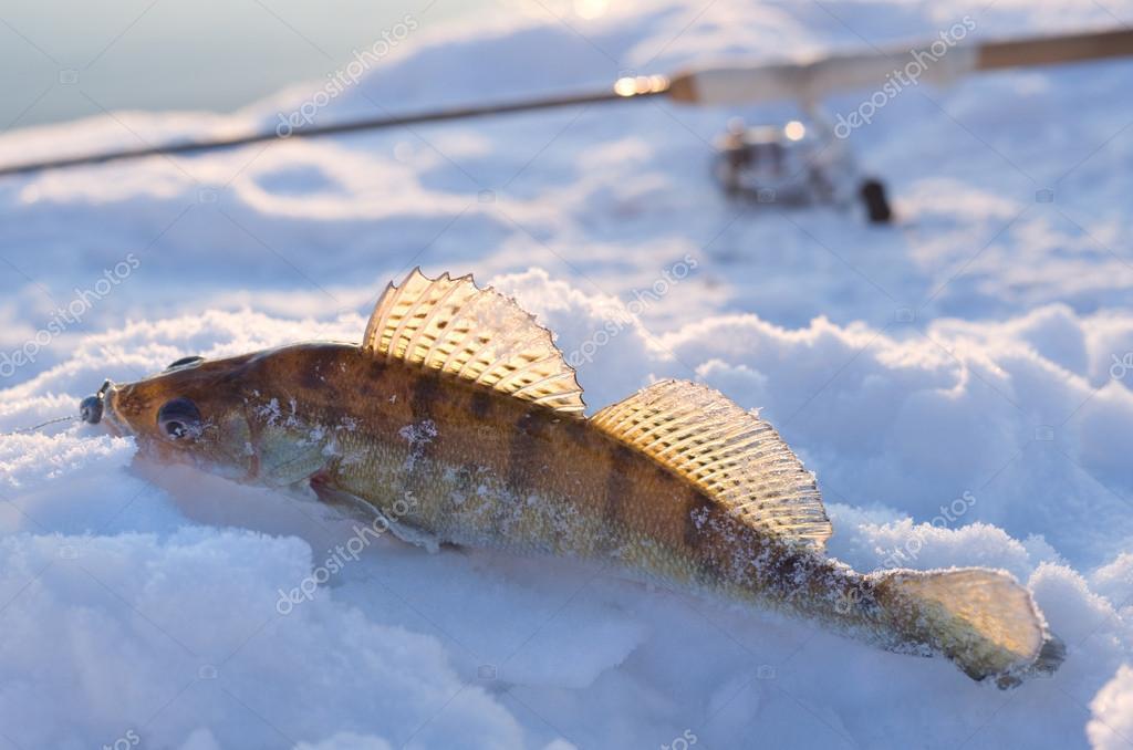 где в омске ловить судака