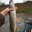 Pike in fisherman's hand — Stock Photo