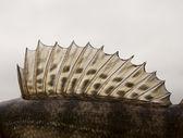 Dorsal fin of a walleye — Stock Photo