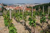 Vineyards in downtown Prague — Stock Photo