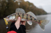 Volga zander in fisherman's hand — Stock Photo