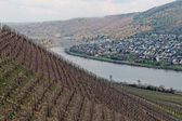 Riesling vineyards on Moselle river — Stock Photo