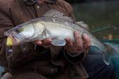Walleye caught on handmade jig lure — Foto Stock