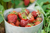 Strawberries in an old metal pot — Stock Photo