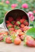Strawberries spilled from a pot — Stock Photo