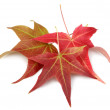 Fall Autumn Maple Leaves — Stock Photo