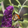 Stock Photo: Monarch orange butterfly on Buddleia