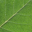 Stock Photo: Detailed leaf structure