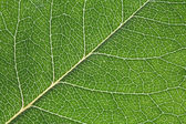 Detailed leaf structure — Stock Photo