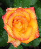 Pink, yellow and red rose macro with rain drops — Stock Photo