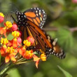 Monarch Butterfly (Danaus plexippus) - Foto de Stock