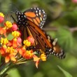 Stock Video: Monarch Butterfly (Danaus plexippus)