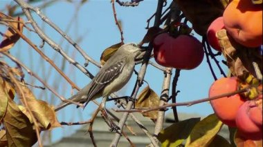 Northern California Mockingbird — Stock Video