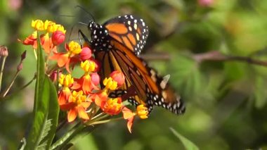 Monarch Butterfly (Danaus plexippus) — Stock Video