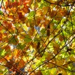 Backlit Fall Leaves — Stock Photo