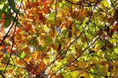 Arkadan aydınlatmalı sonbahar yaprakları — Stok fotoğraf