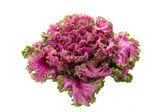Růžový kvetoucí kale — Stock fotografie