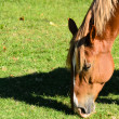 Horse Eating Grass — Stock Photo #13375302
