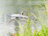 Blue Heron in Flight — Stock Photo