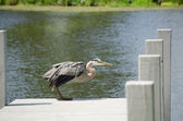 Blue Heron on Dock — Stock Photo