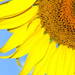 Sunflower on the blue sky background — Stock Photo