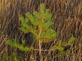 Little pine-tree — Stock Photo