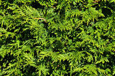 Green background of thuja — Stock Photo