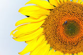 Sunflower with a bee in the blue backround — Stock Photo