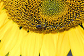 Furry bee on a sunflower — Foto de Stock