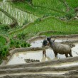 Royalty-Free Stock Photo: Man harnesses the buffalo in the rice terraces