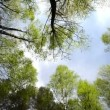 Stock Video: High angle view looking up at top of wind swinging giant hardwood trees in pure forest