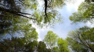 ángulo alto vista mirando hacia la parte superior del viento balanceo gigantes árboles en el bosque puro. — Vídeo de stock