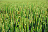 Young rice stalks. Vietnam — Stock Photo