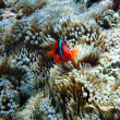 A Clown Anemonefish sheltering among the tentacles of its sea an — Stock Photo