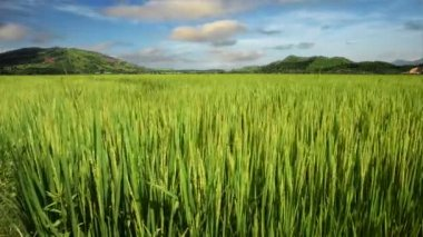 Landscape of a beautiful green field with rice stalks swaying in the wind. Vietnam. — Stock Video