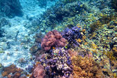 Colorful coral reef with hard corals at the bottom of tropical s — Stock Photo